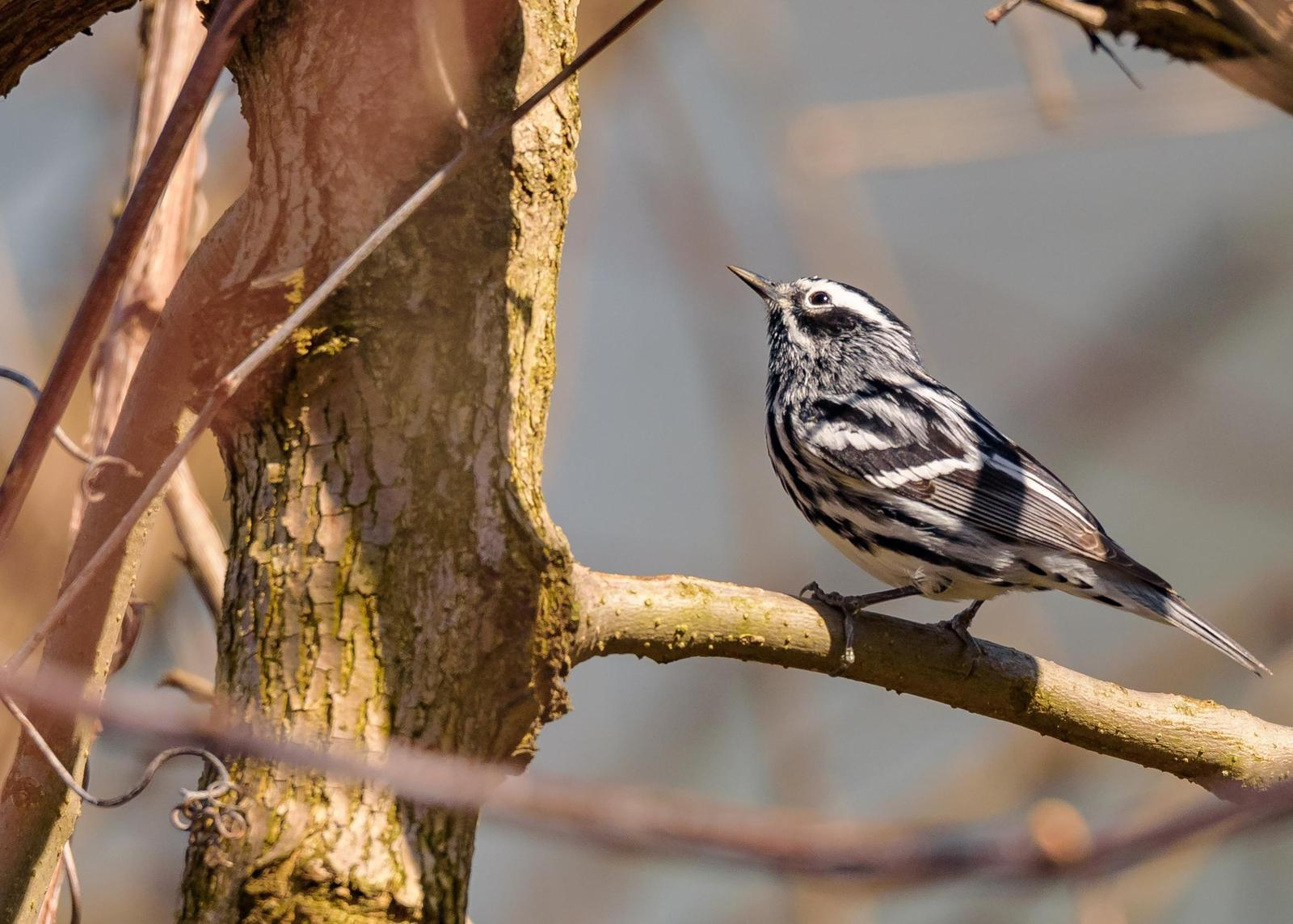 Black-and-white Warbler Photo by Keshava Mysore