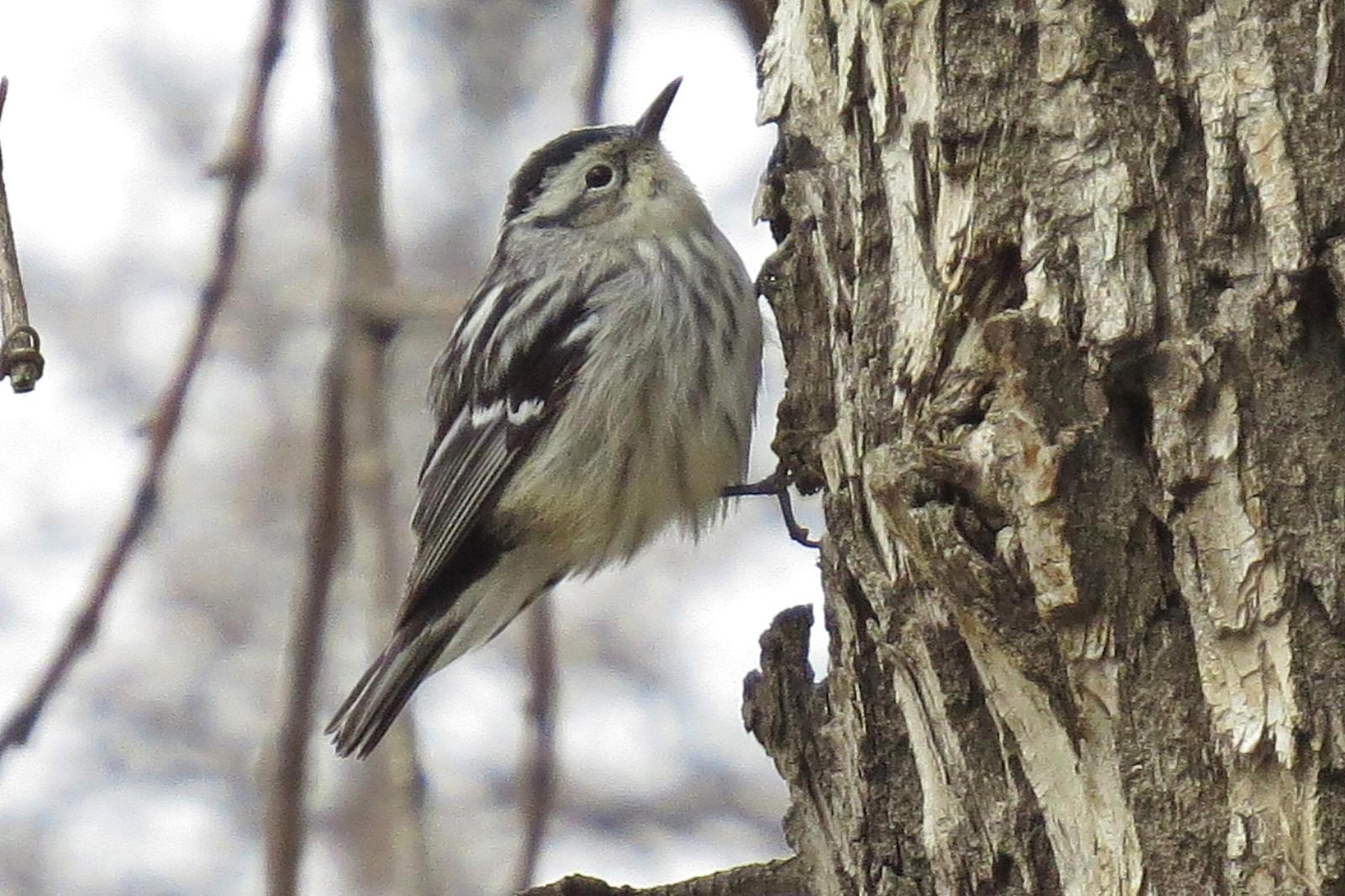 Black-and-white Warbler Photo by Enid Bachman