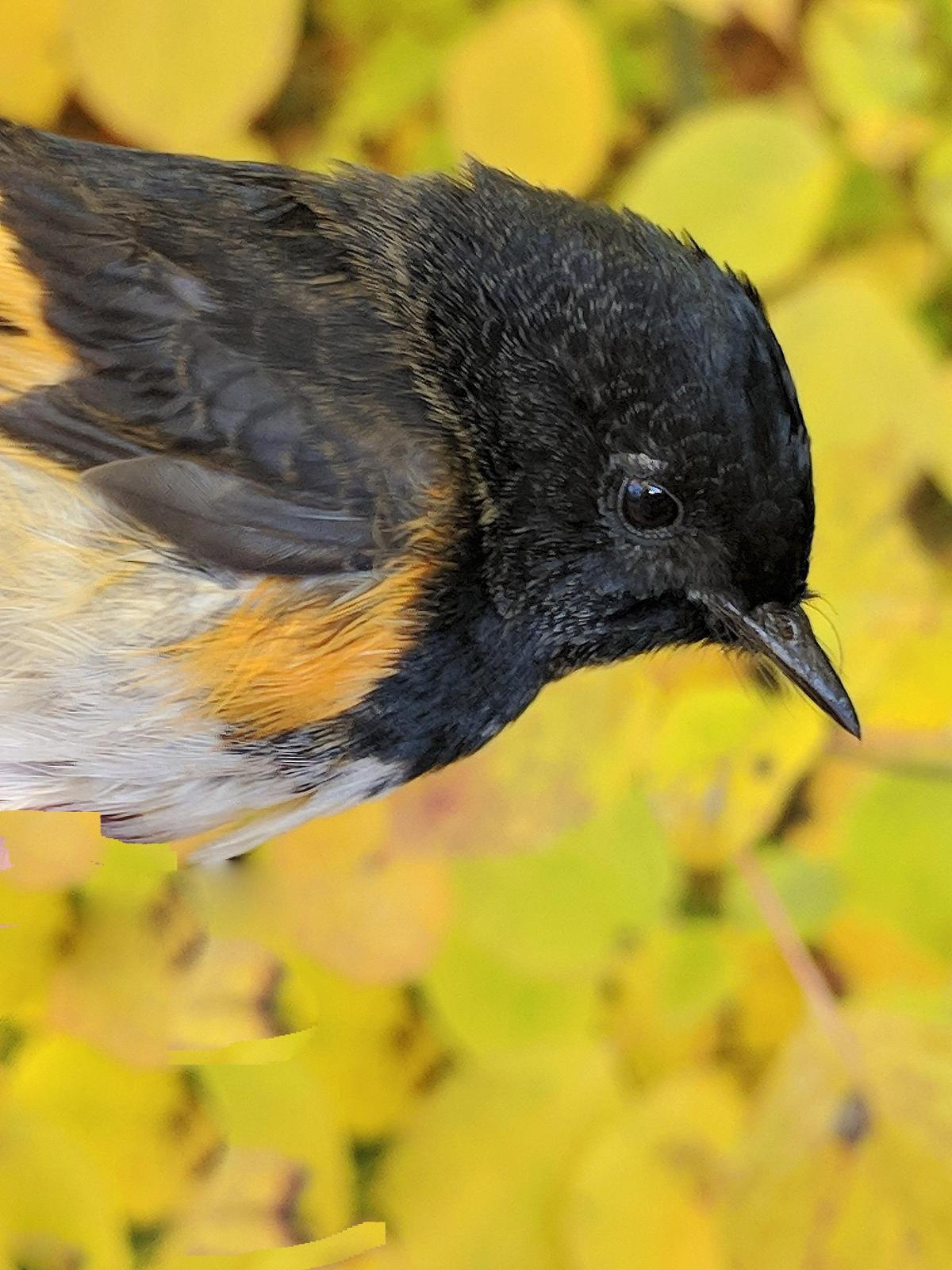American Redstart Photo by Dan Tallman