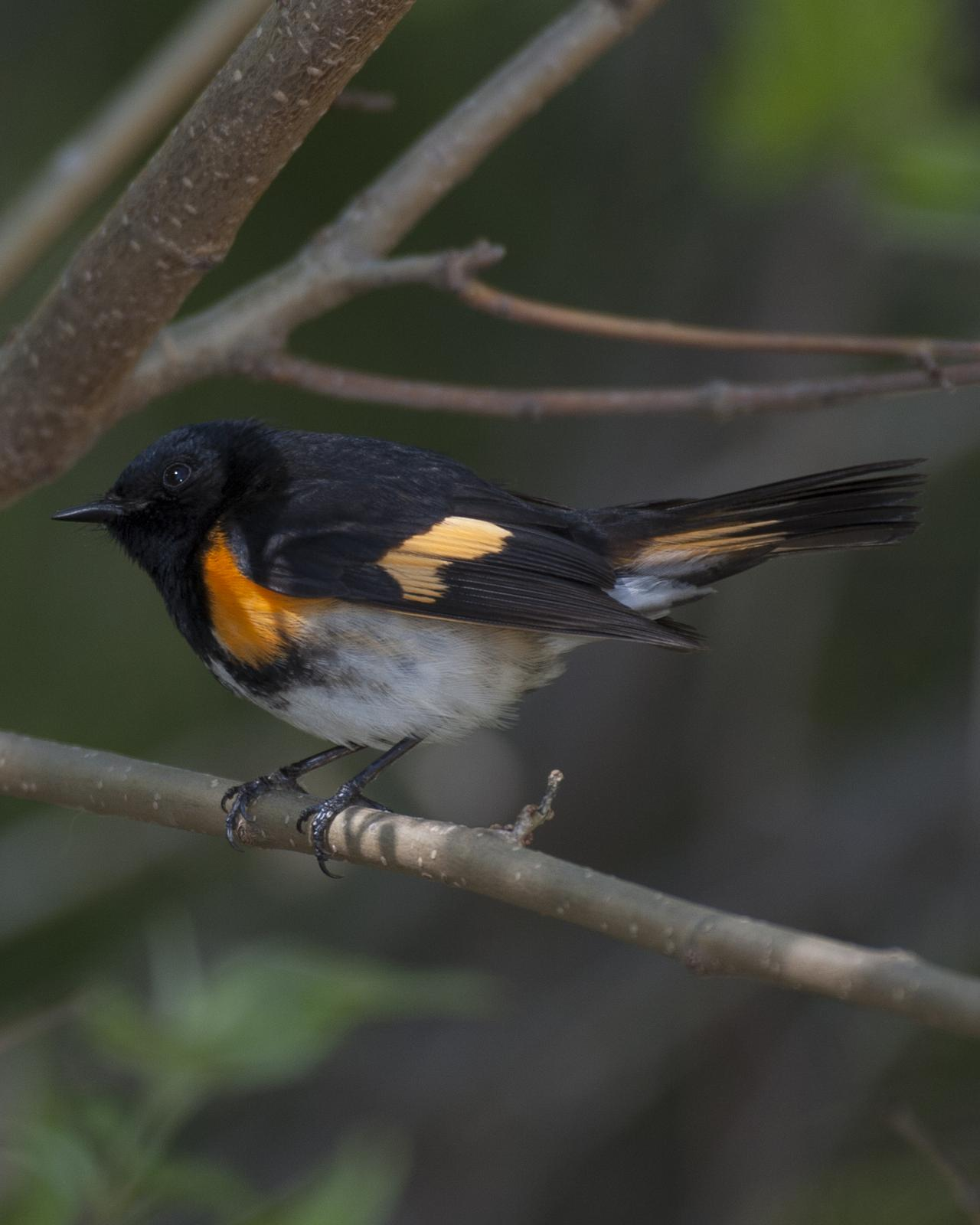 American Redstart Photo by Jeff Moore