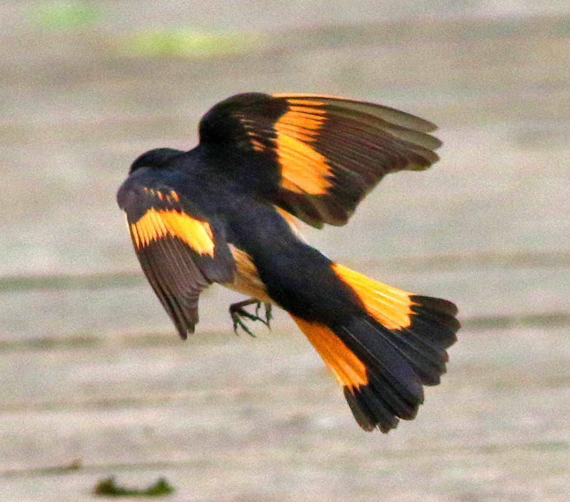 American Redstart Photo by Tom Gannon