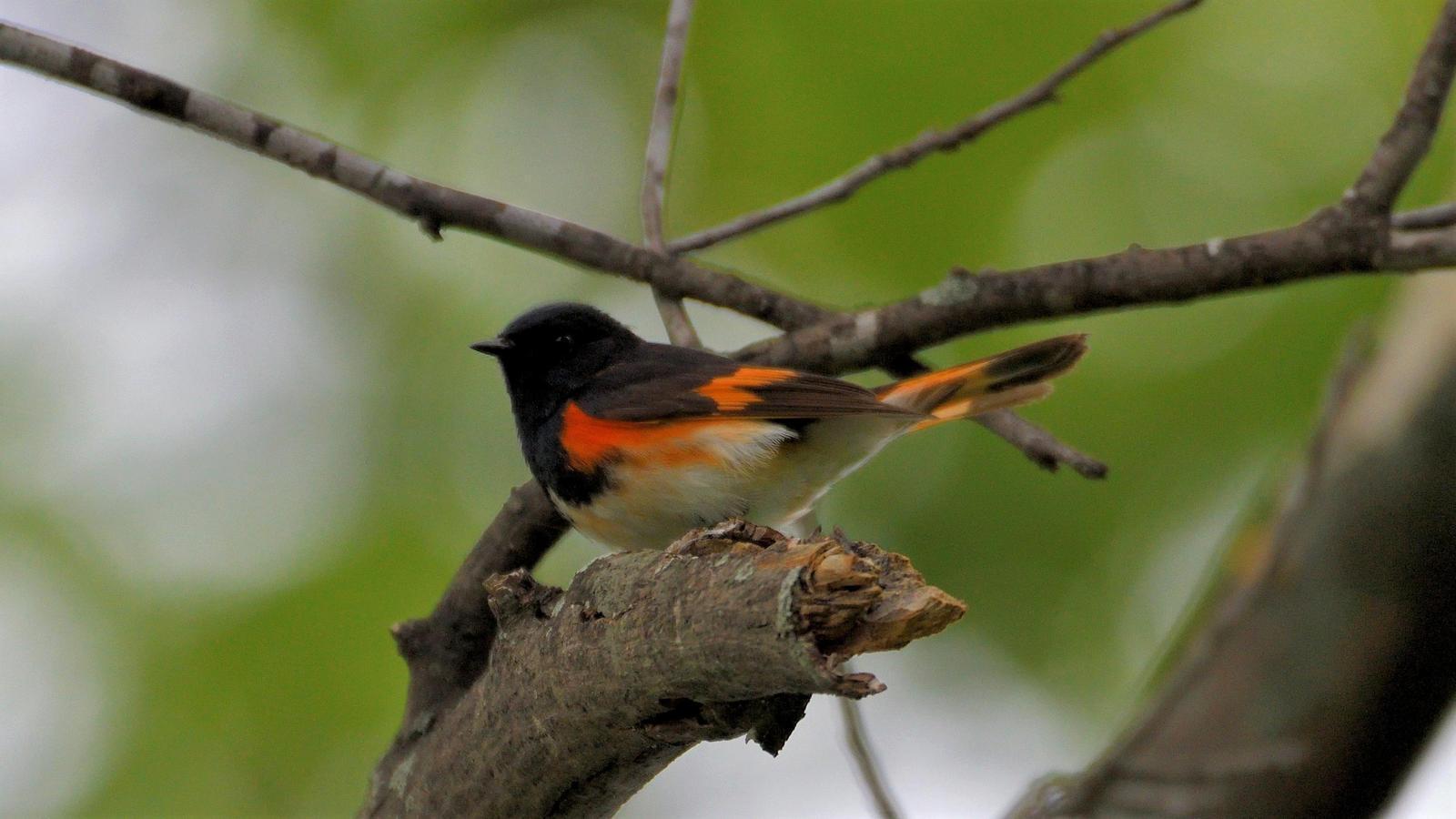 American Redstart Photo by RM Beck