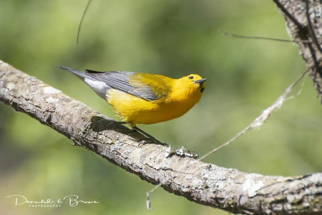 Prothonotary Warbler Photo by Donald Brown