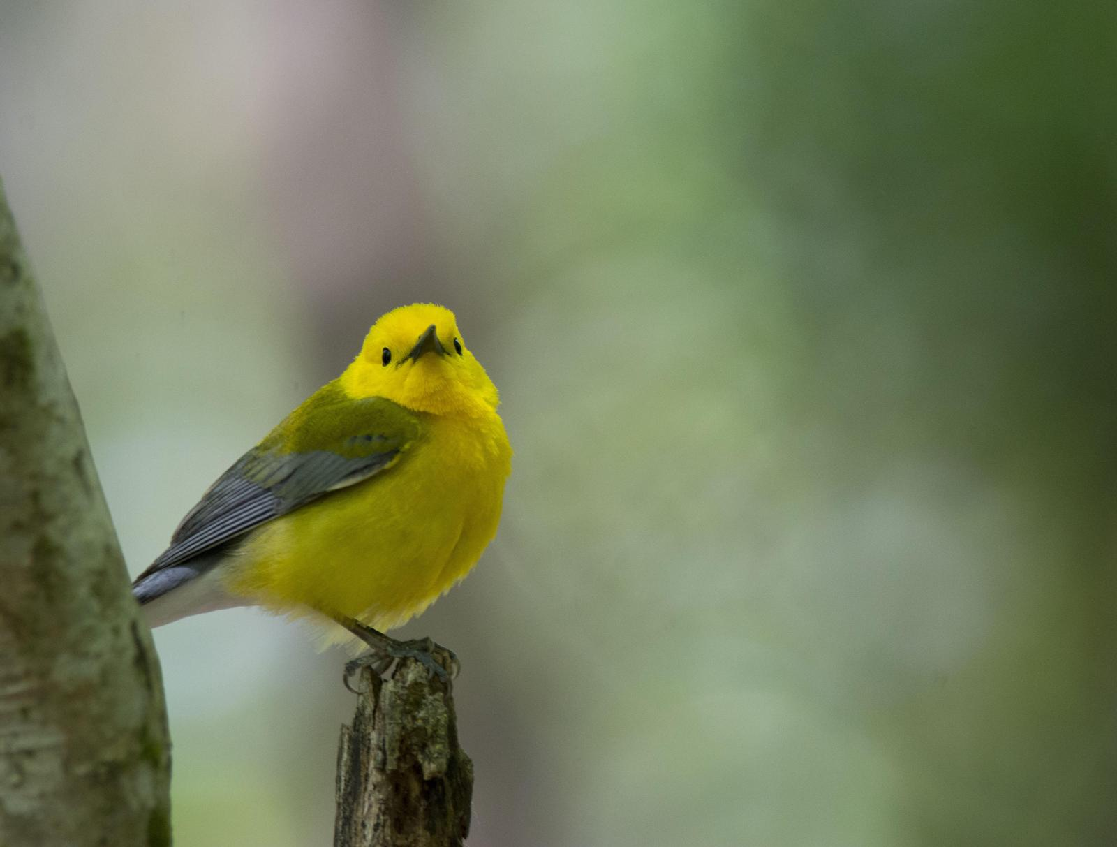 Prothonotary Warbler Photo by Jacob Zadik