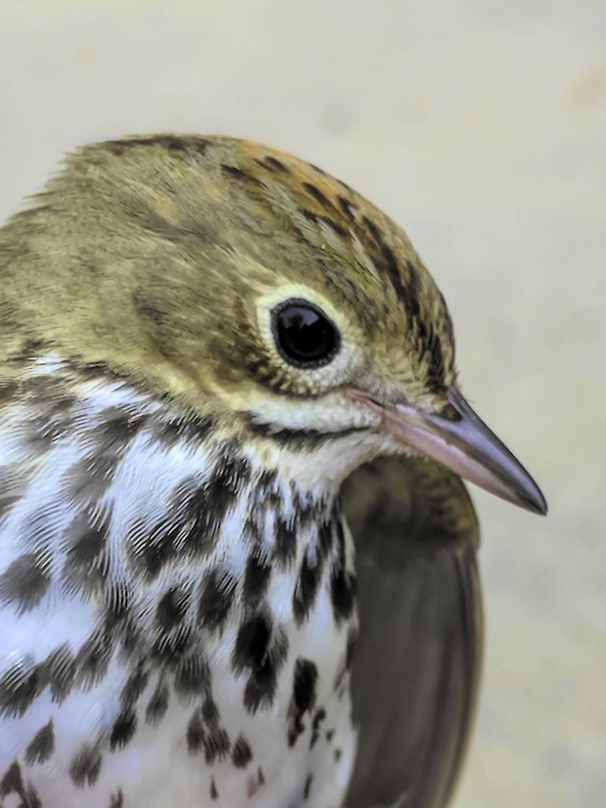 Ovenbird Photo by Dan Tallman