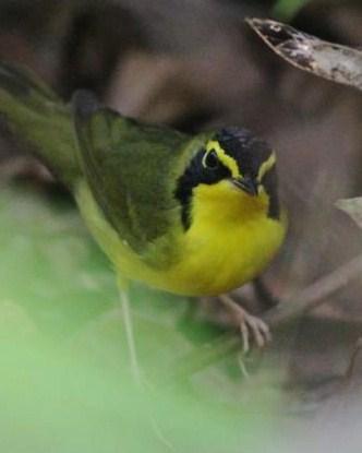 Kentucky Warbler Photo by Michael L. P. Retter