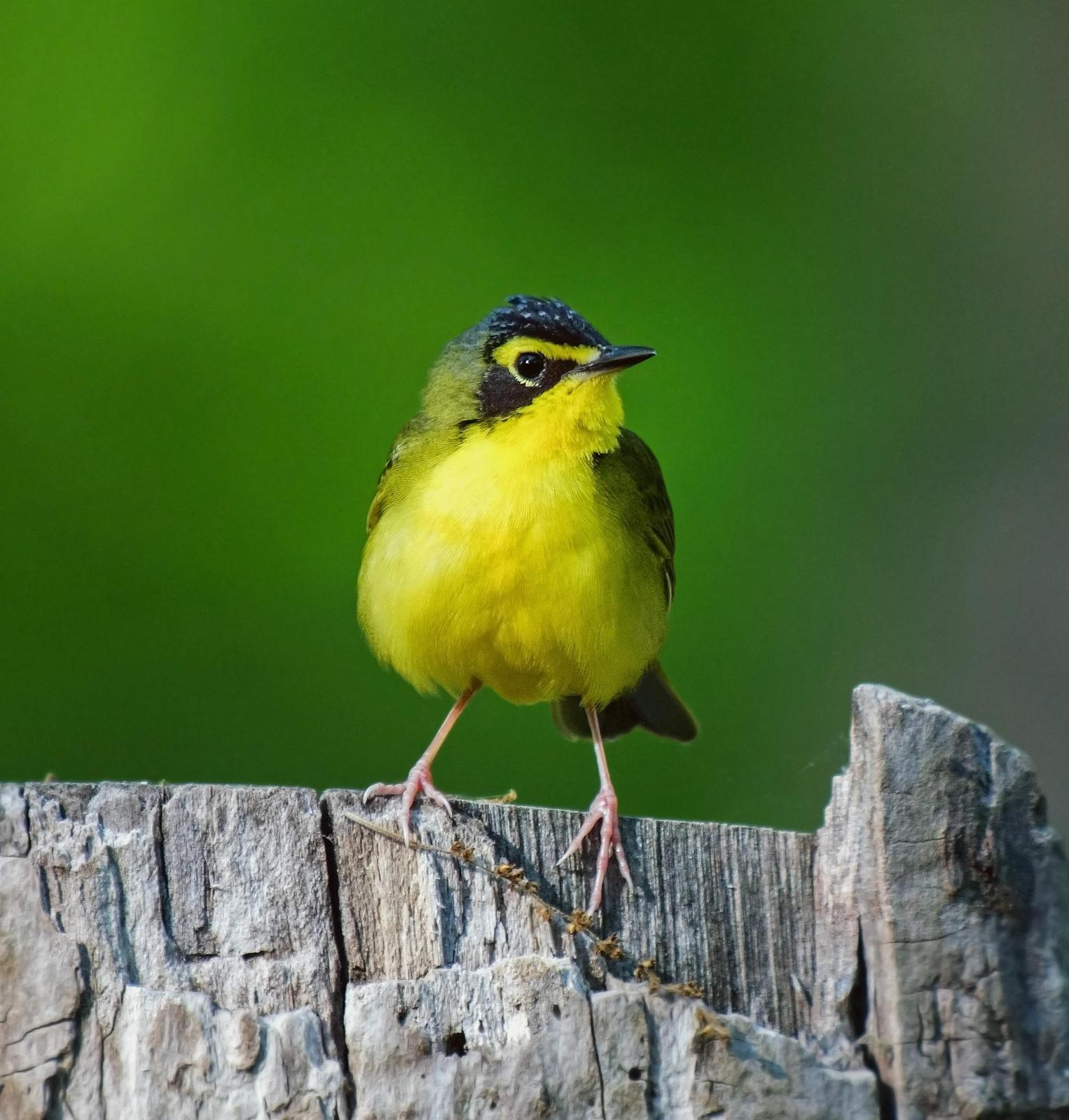 Kentucky Warbler Photo by Joseph Pescatore