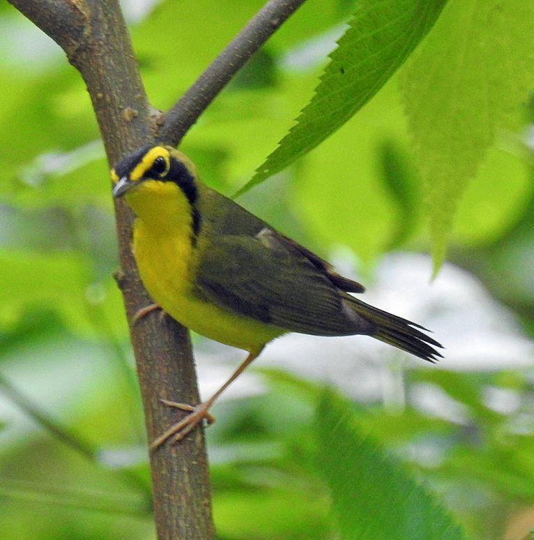 Kentucky Warbler Photo by Tom Gannon