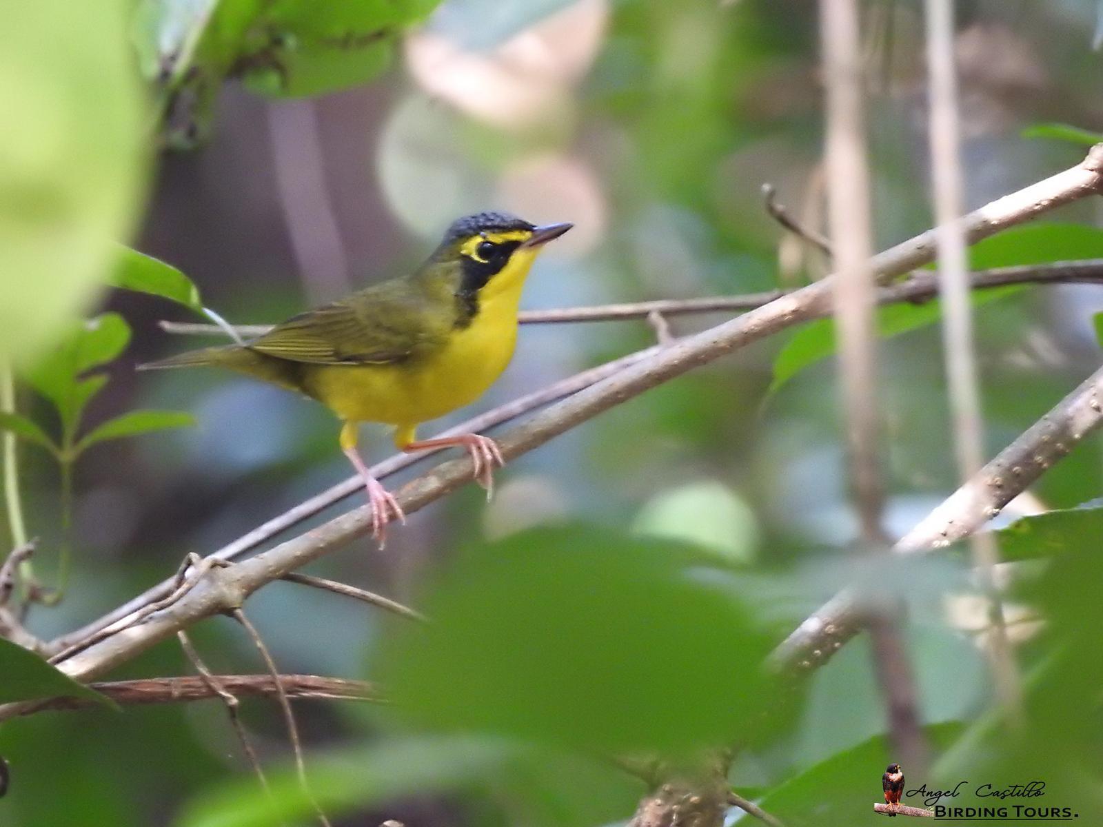 Kentucky Warbler Photo by Castillo Cime