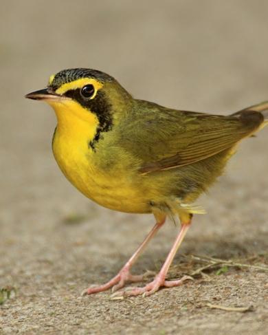 Kentucky Warbler Photo by Rene Valdes