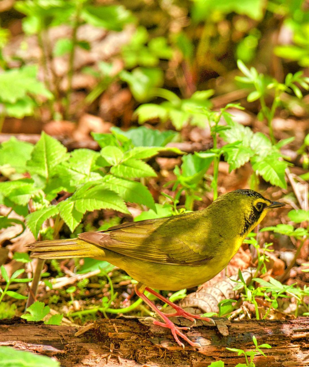 Kentucky Warbler Photo by Brian Avent
