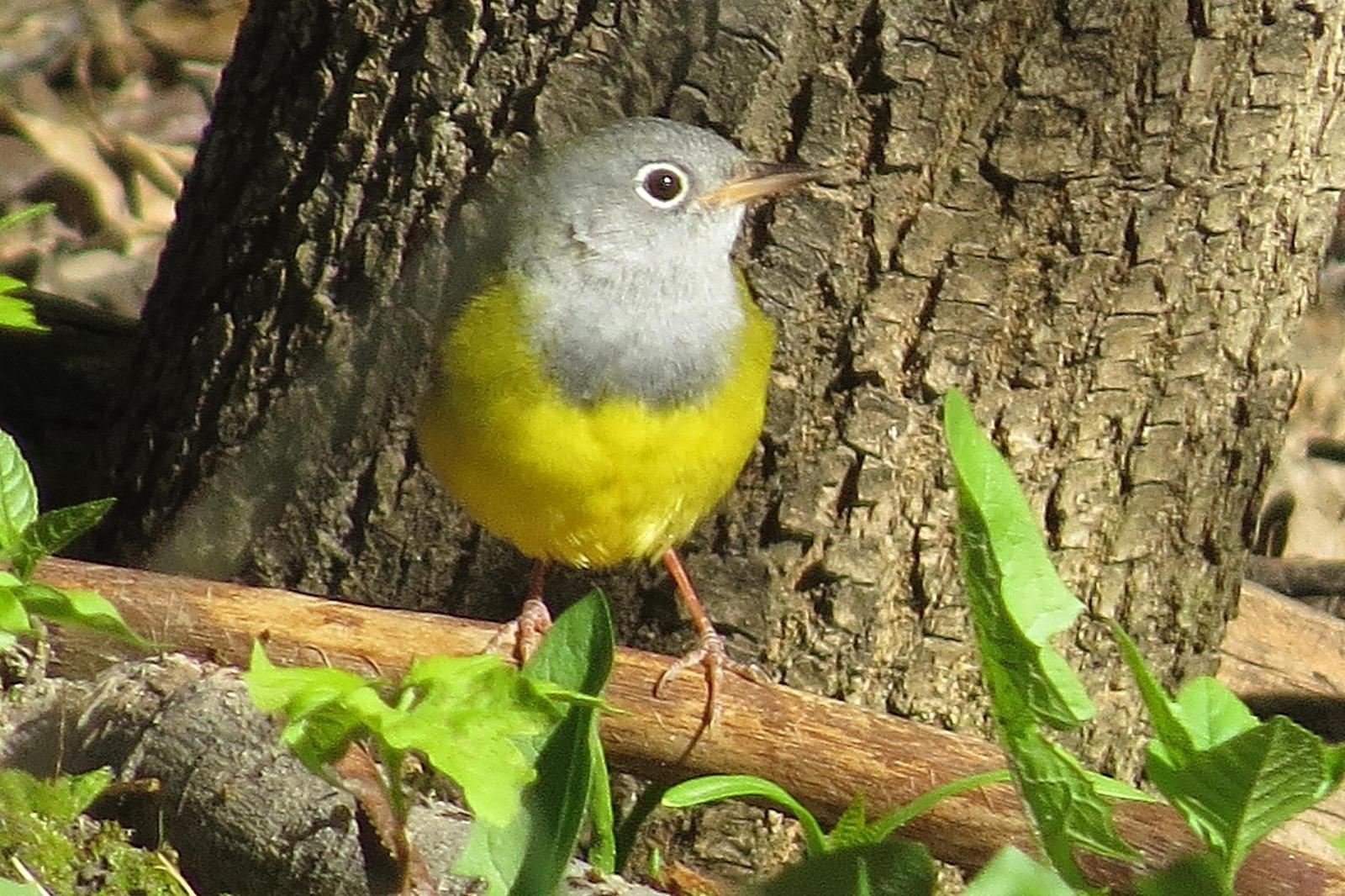 Connecticut Warbler Photo by Enid Bachman