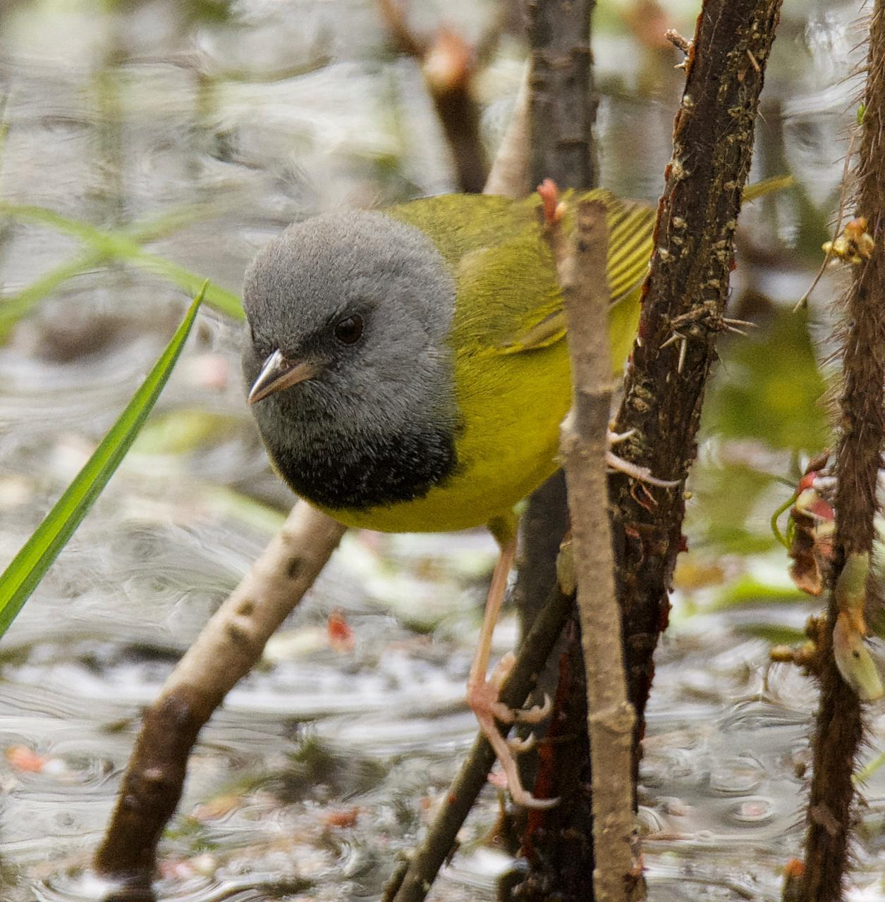 Mourning Warbler Photo by Brian Avent
