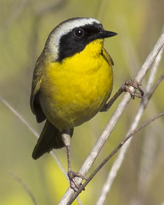 Common Yellowthroat Photo by Anthony Gliozzo