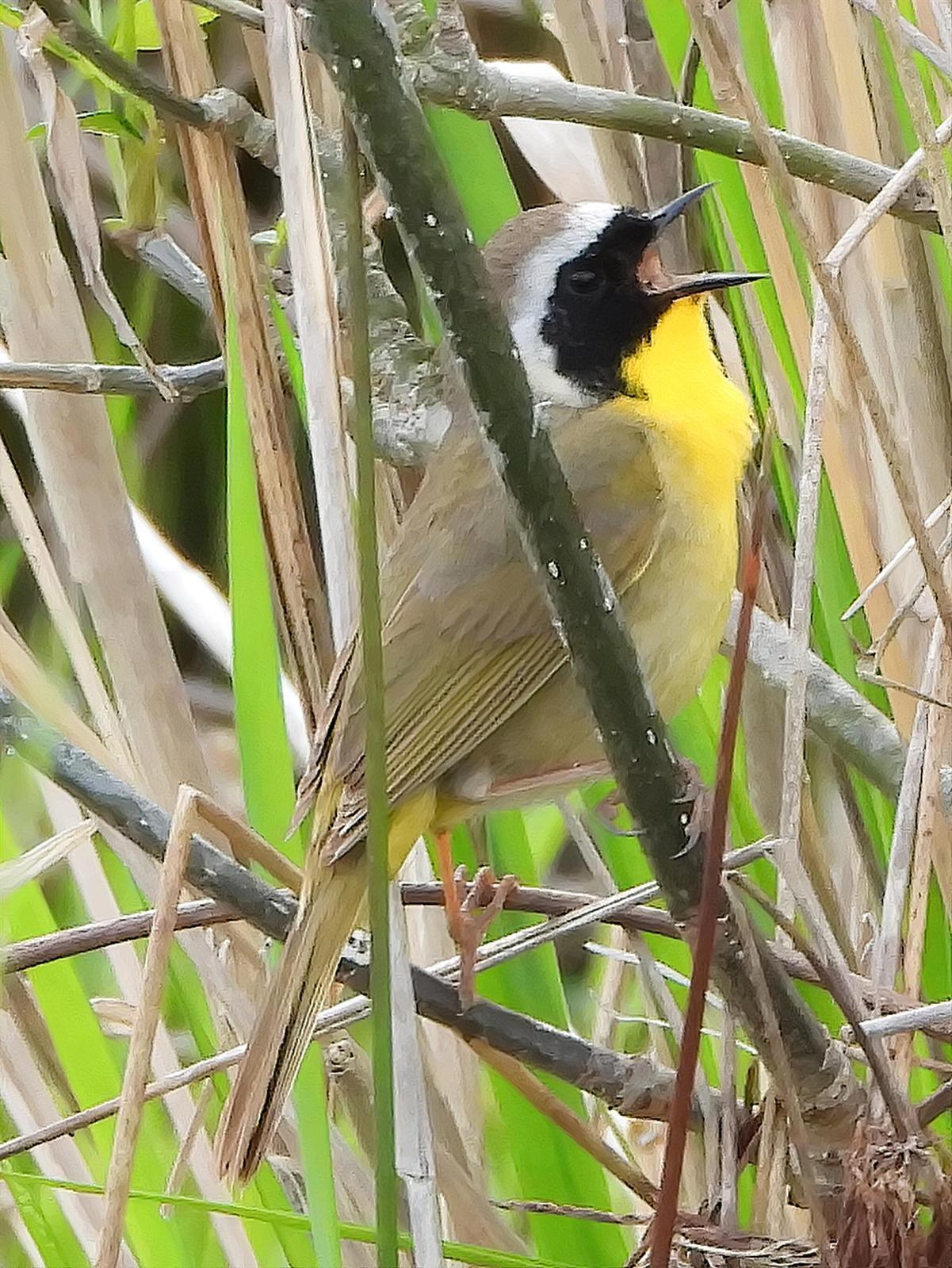 Common Yellowthroat Photo by Dan Tallman