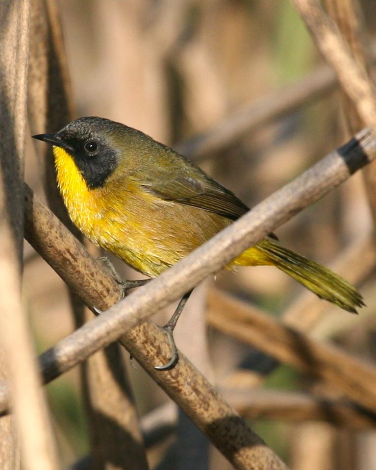 Black-polled Yellowthroat Photo by Mitch Walters