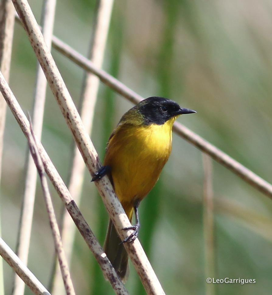 Black-polled Yellowthroat Photo by Leonardo Garrigues