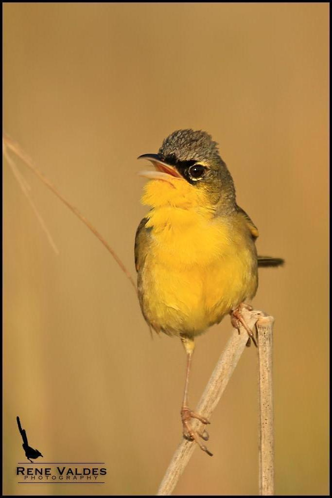 Gray-crowned Yellowthroat Photo by Rene Valdes