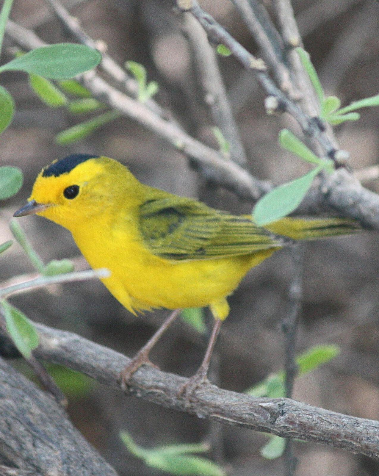 Wilson's Warbler Photo by Andrew Core