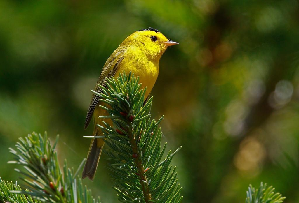 Wilson's Warbler Photo by Emily Willoughby