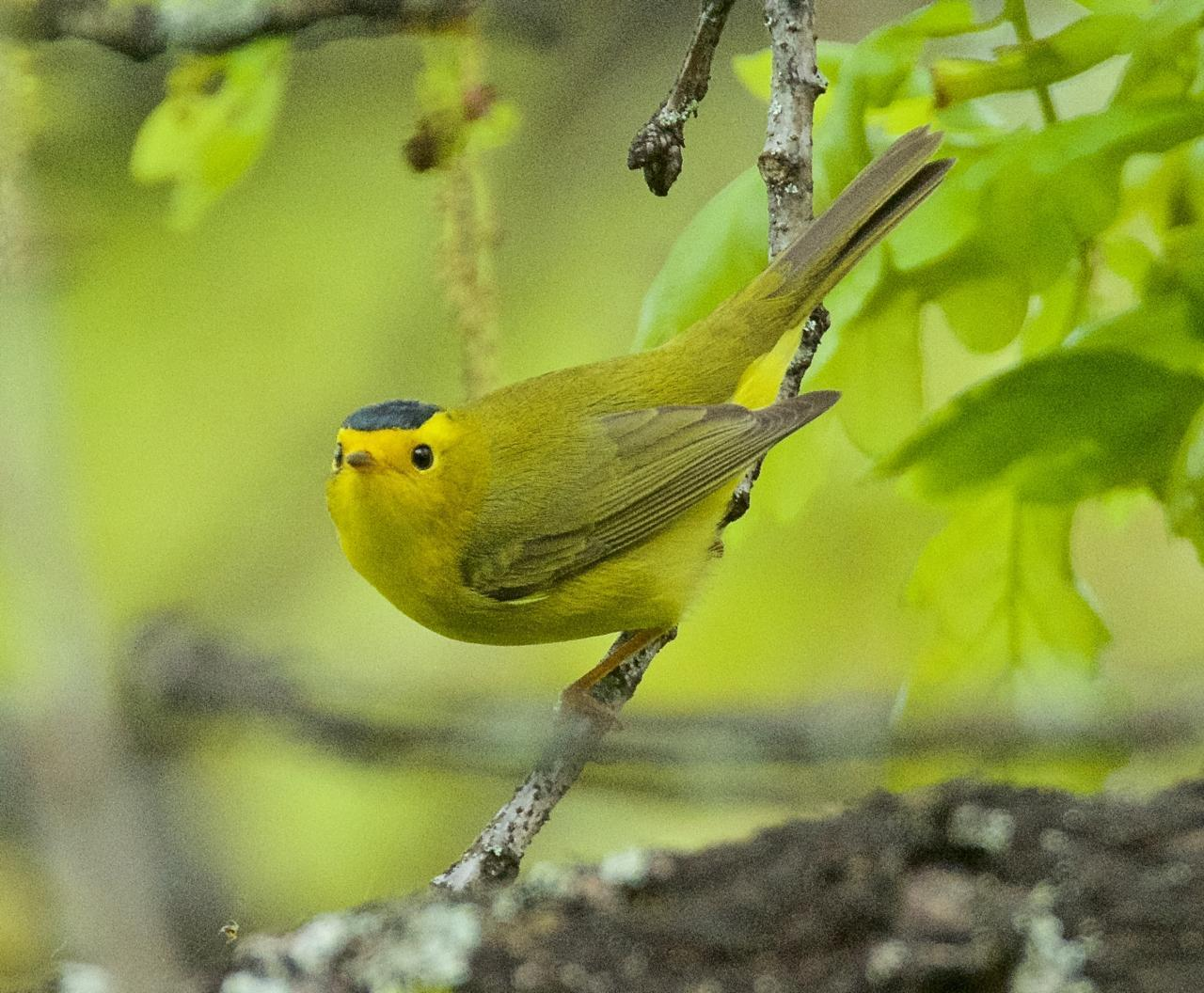 Wilson's Warbler Photo by Brian Avent