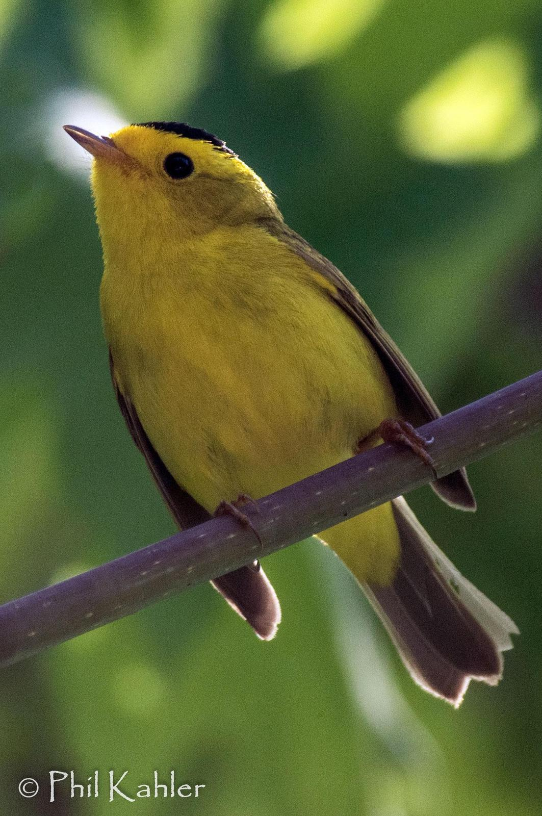 Wilson's Warbler Photo by Phil Kahler