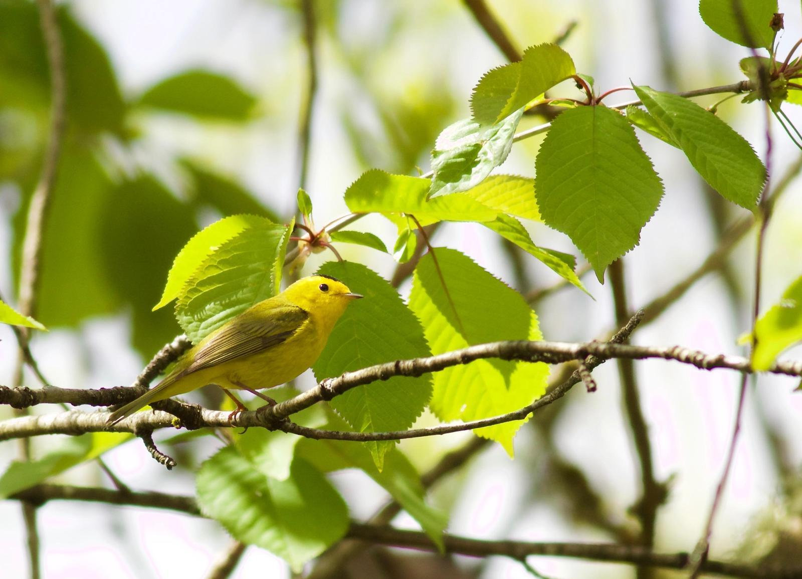 Wilson's Warbler Photo by Kathryn Keith