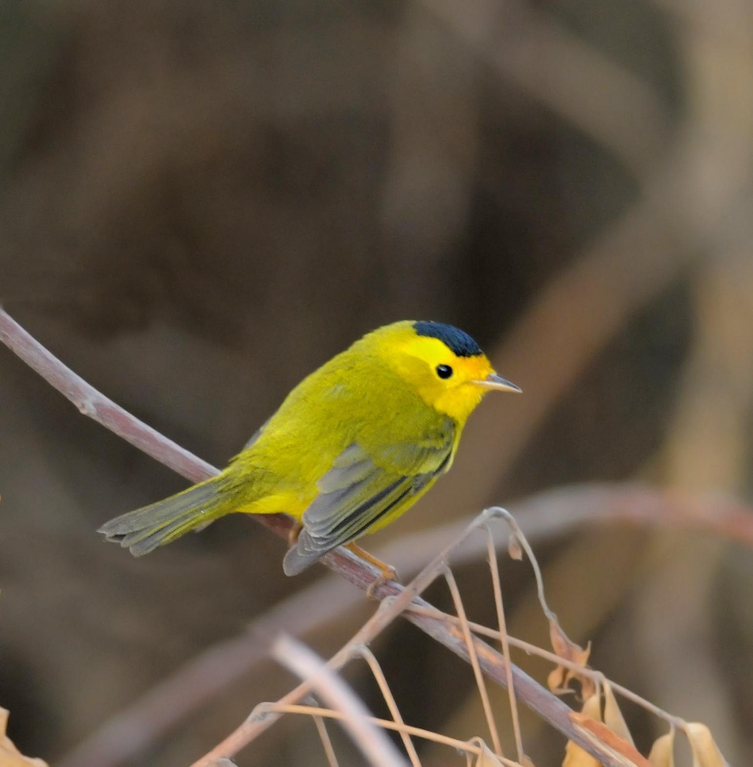Wilson's Warbler Photo by Steven Mlodinow