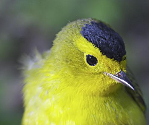Wilson's Warbler Photo by Dan Tallman