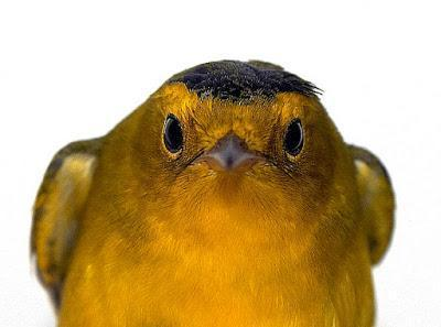 Wilson's Warbler Photo by Dan Tallman