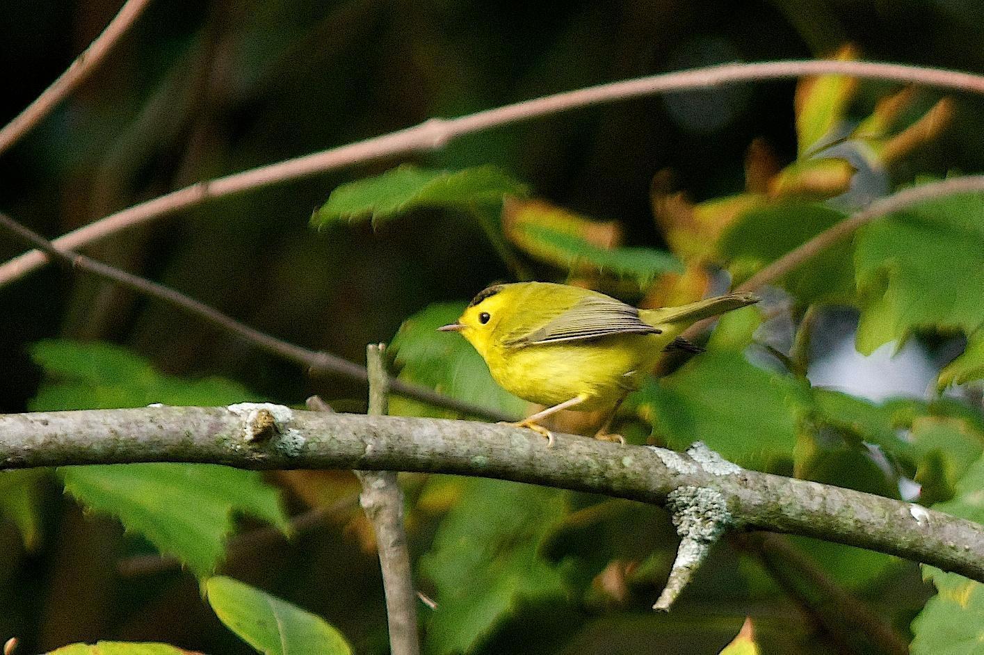 Wilson's Warbler Photo by Gerald Hoekstra