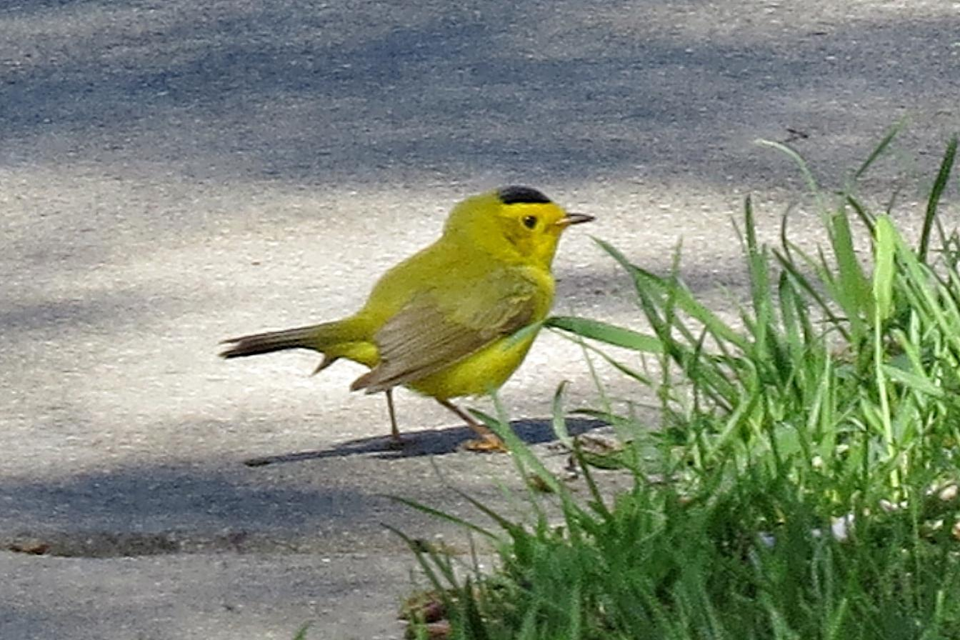 Wilson's Warbler Photo by Enid Bachman