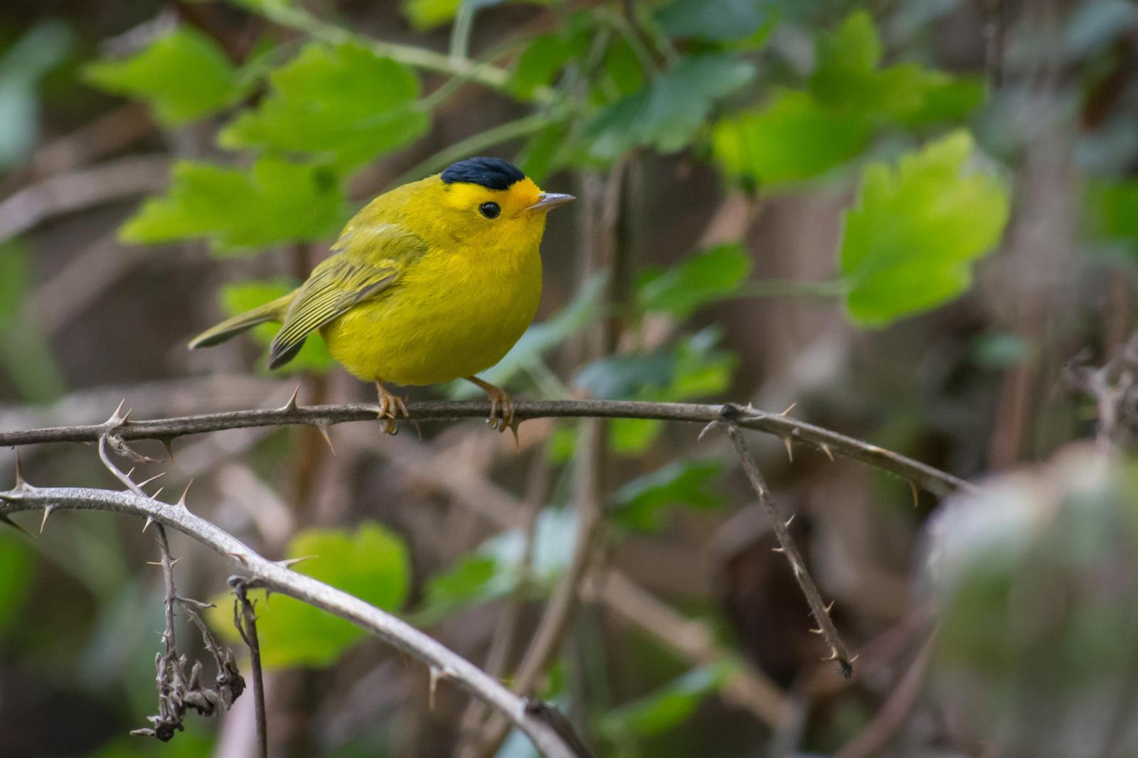 Wilson's Warbler Photo by Jesse Hodges