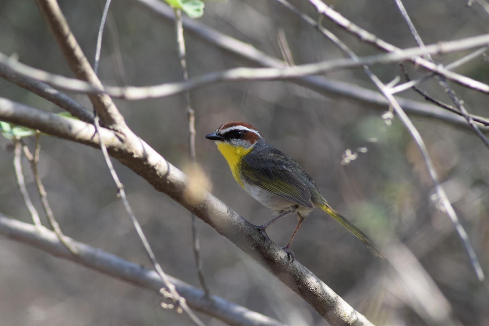 Rufous-capped Warbler Photo by Laura A. Martínez Cantú