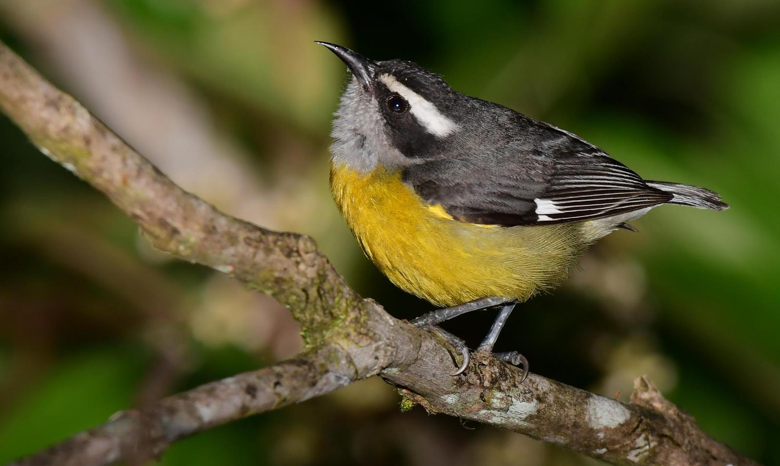 Bananaquit Photo by Gareth Rasberry