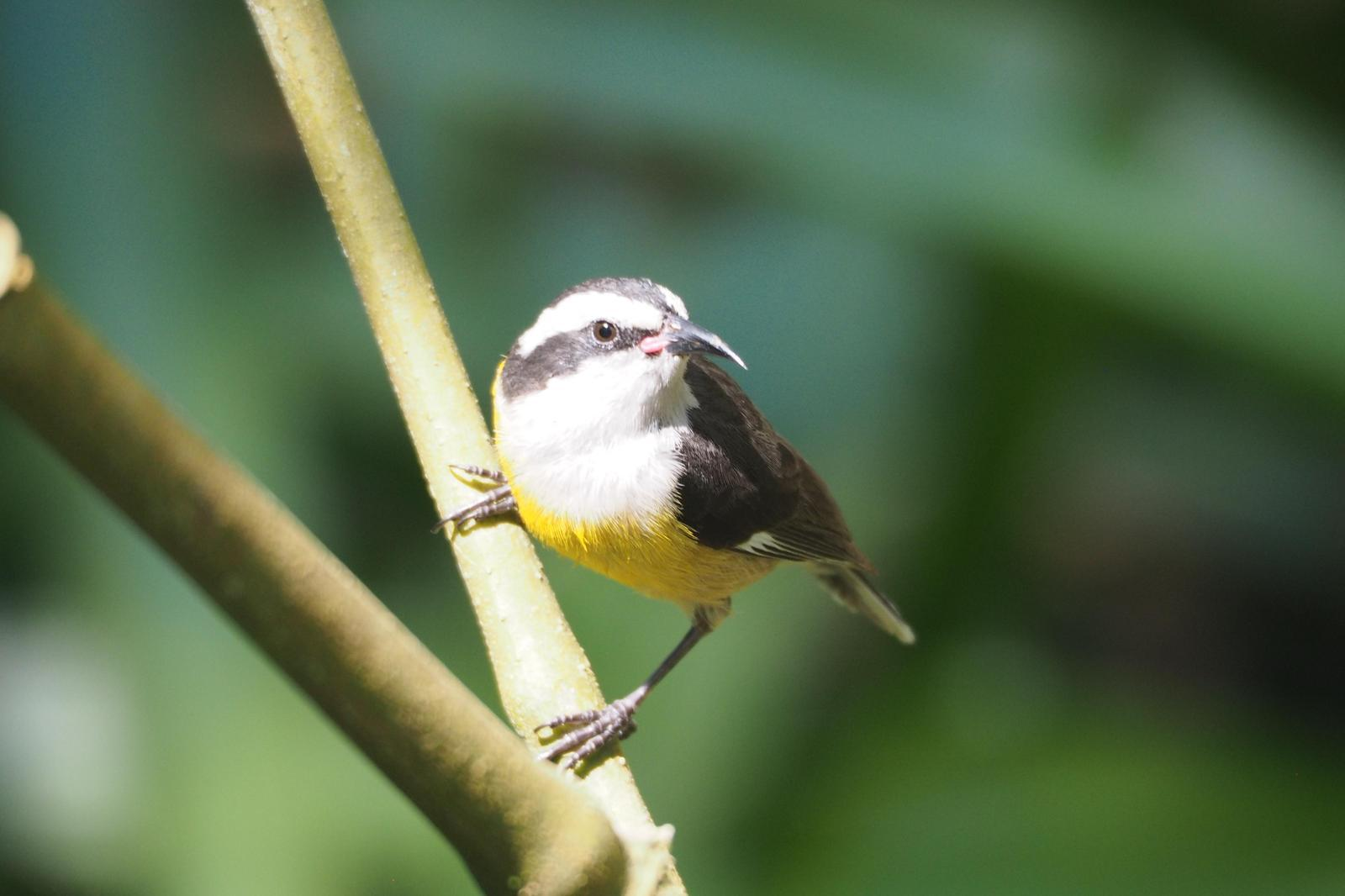 Bananaquit Photo by Colin Hill