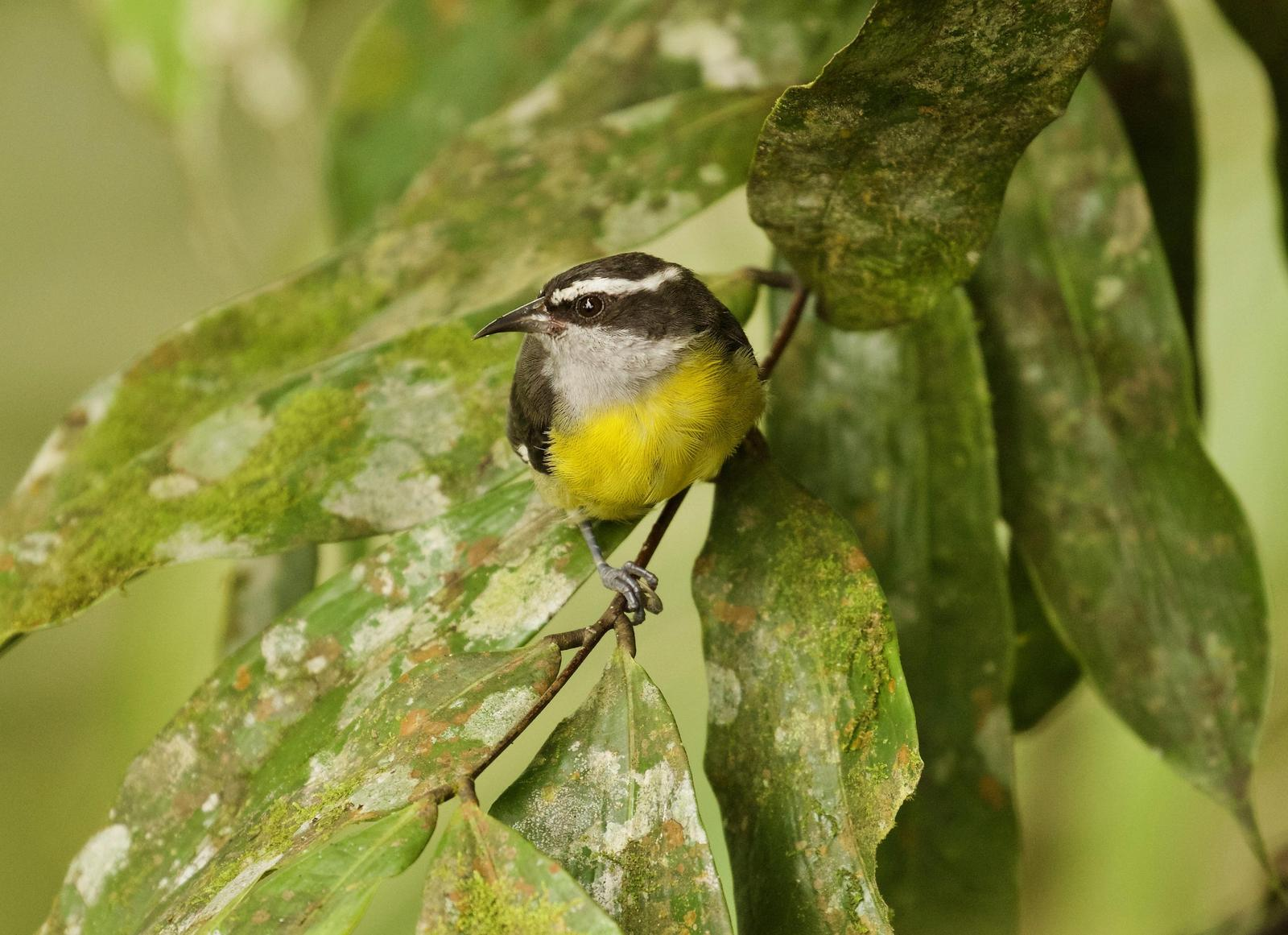 Bananaquit Photo by