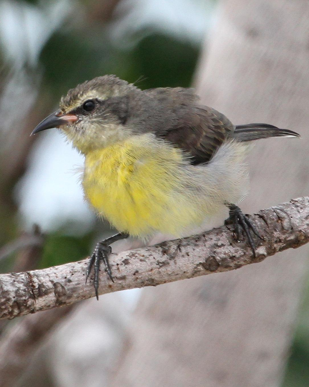 Bananaquit Photo by Monte Taylor