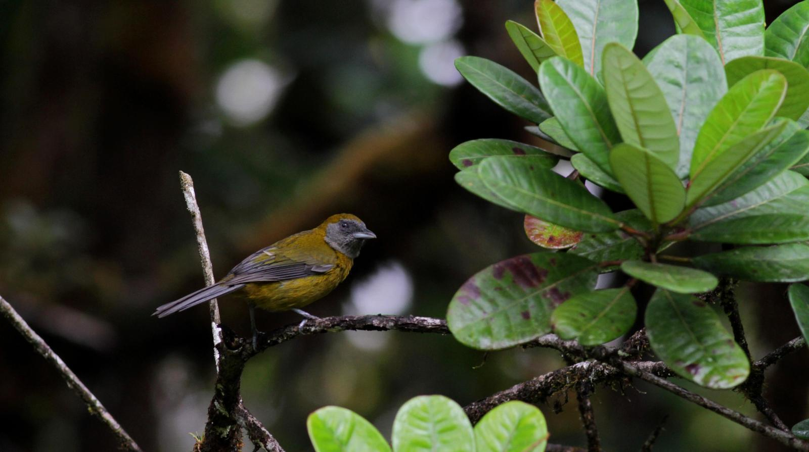 Olive-backed Tanager Photo by Jay McGowan