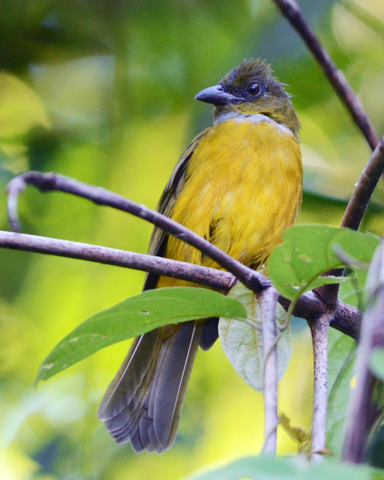 Gray-headed Tanager Photo by David Hollie