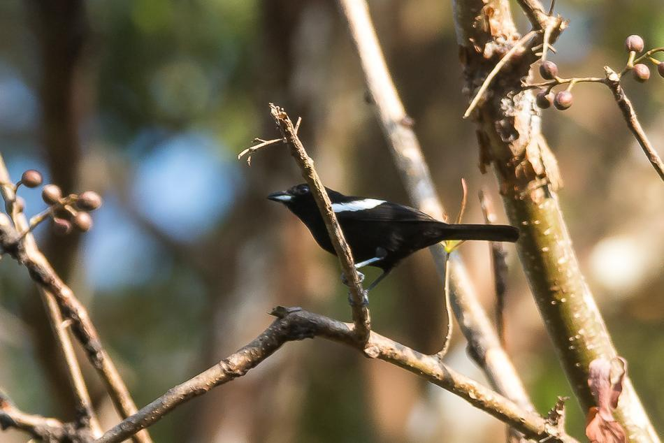 White-shouldered Tanager Photo by Gerald Hoekstra