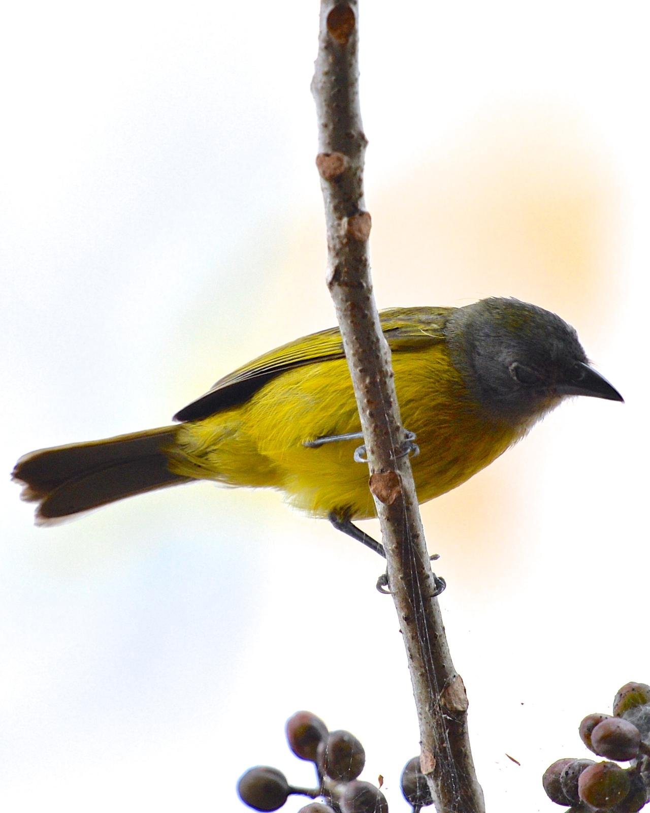 White-shouldered Tanager Photo by Gerald Friesen