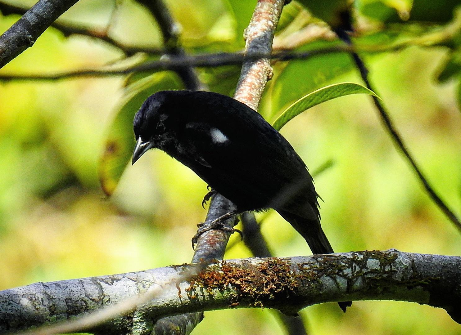 White-shouldered Tanager Photo by Julio Delgado