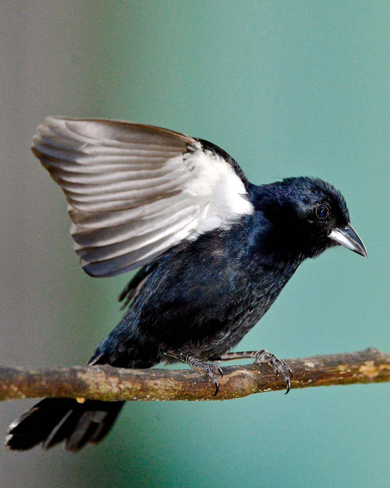 White-lined Tanager Photo by Gerald Friesen
