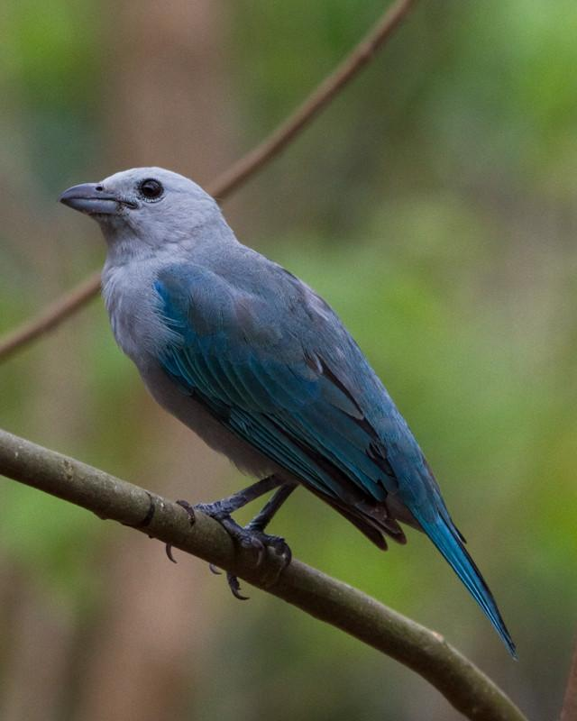 Blue-gray Tanager Photo by Natalie Raeber