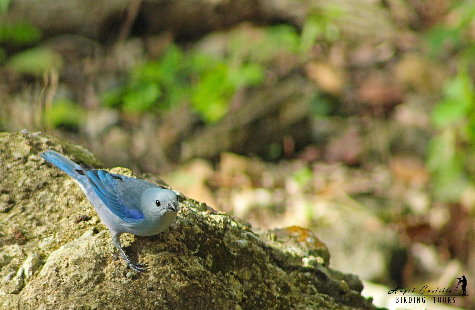 Blue-gray Tanager Photo by Castillo Cime