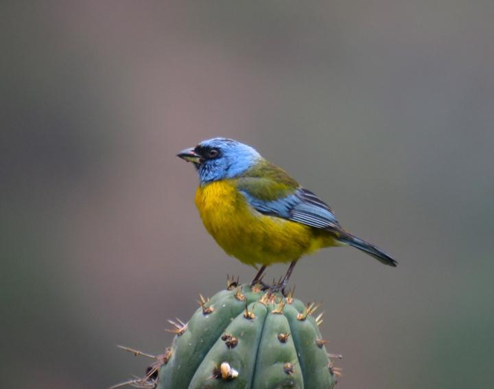 Blue-and-yellow Tanager Photo by Andre  Moncrieff
