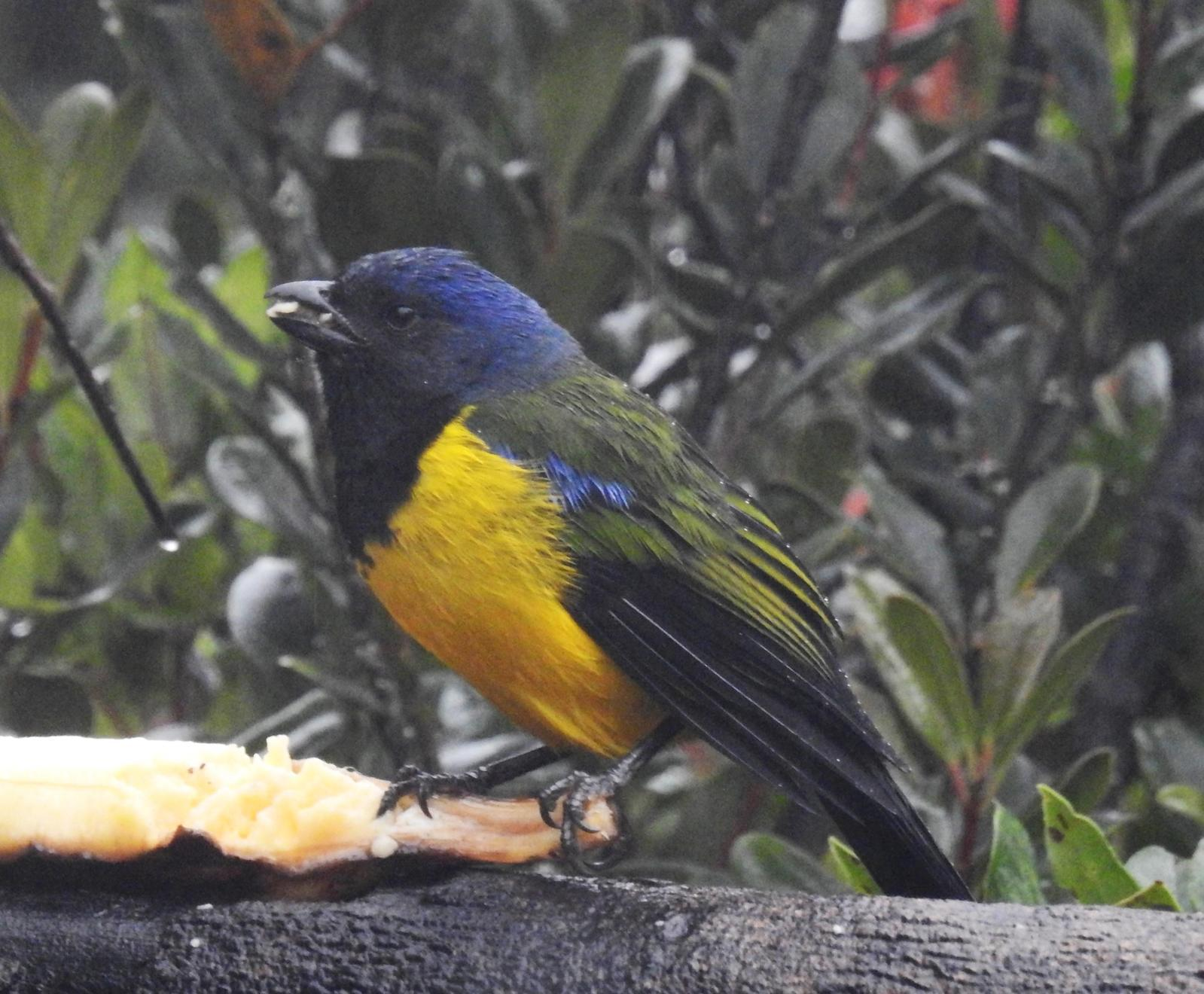 Black-chested Mountain-Tanager Photo by John Licharson
