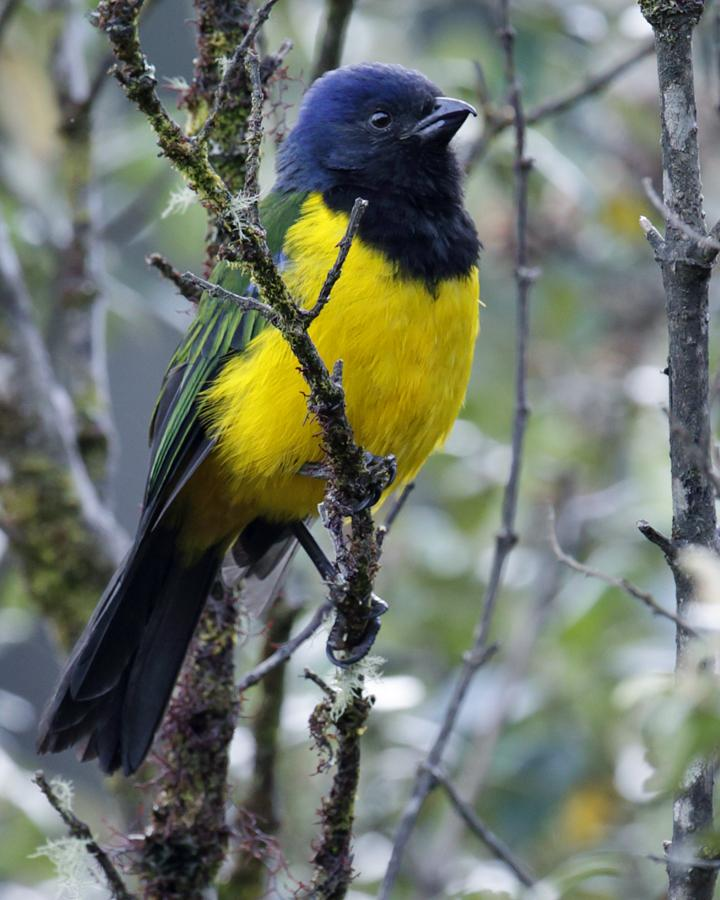 Black-chested Mountain-Tanager Photo by Nick Athanas