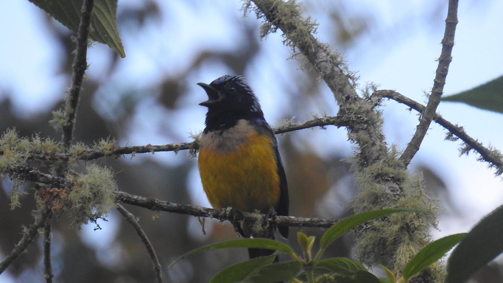 Buff-breasted Mountain-Tanager Photo by Julio Delgado